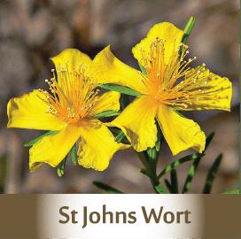 st-johns-wort2