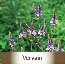 vervain2