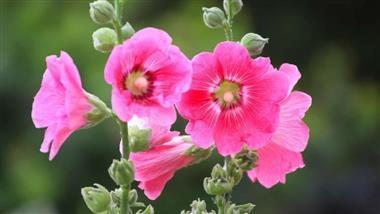 Help Ease Inflammation with Hollyhock (recipe)