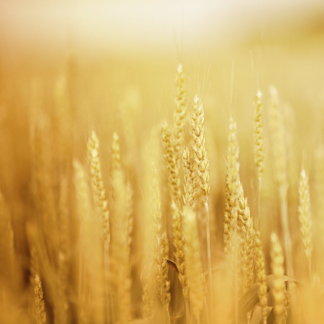 Wheat Conditions