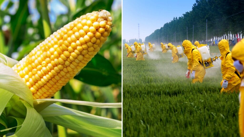 Mexico ban GMO and Roundup Mexico bans GMO corn and Glyphosate (Roundup weed killer)