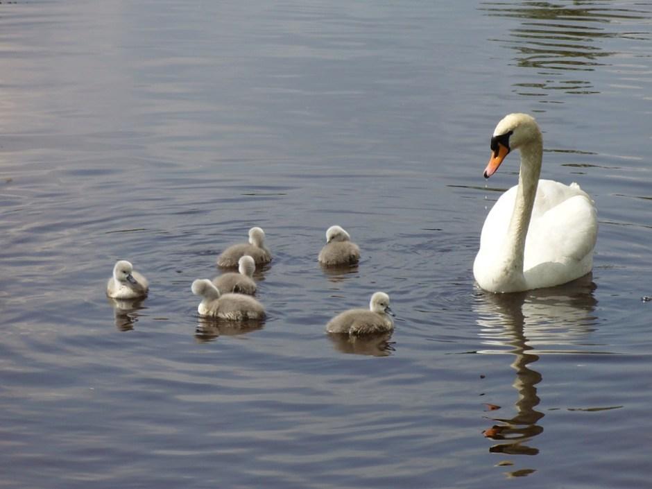 rodzina łabędzi - nawyki naszych dzieci