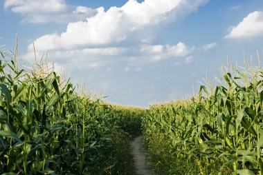 corn with a path on a partly cloudy summer day