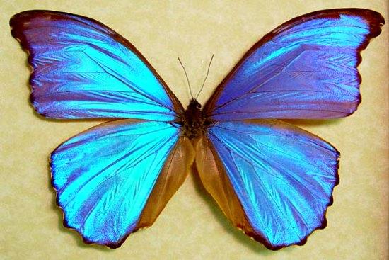 papillon hologramme