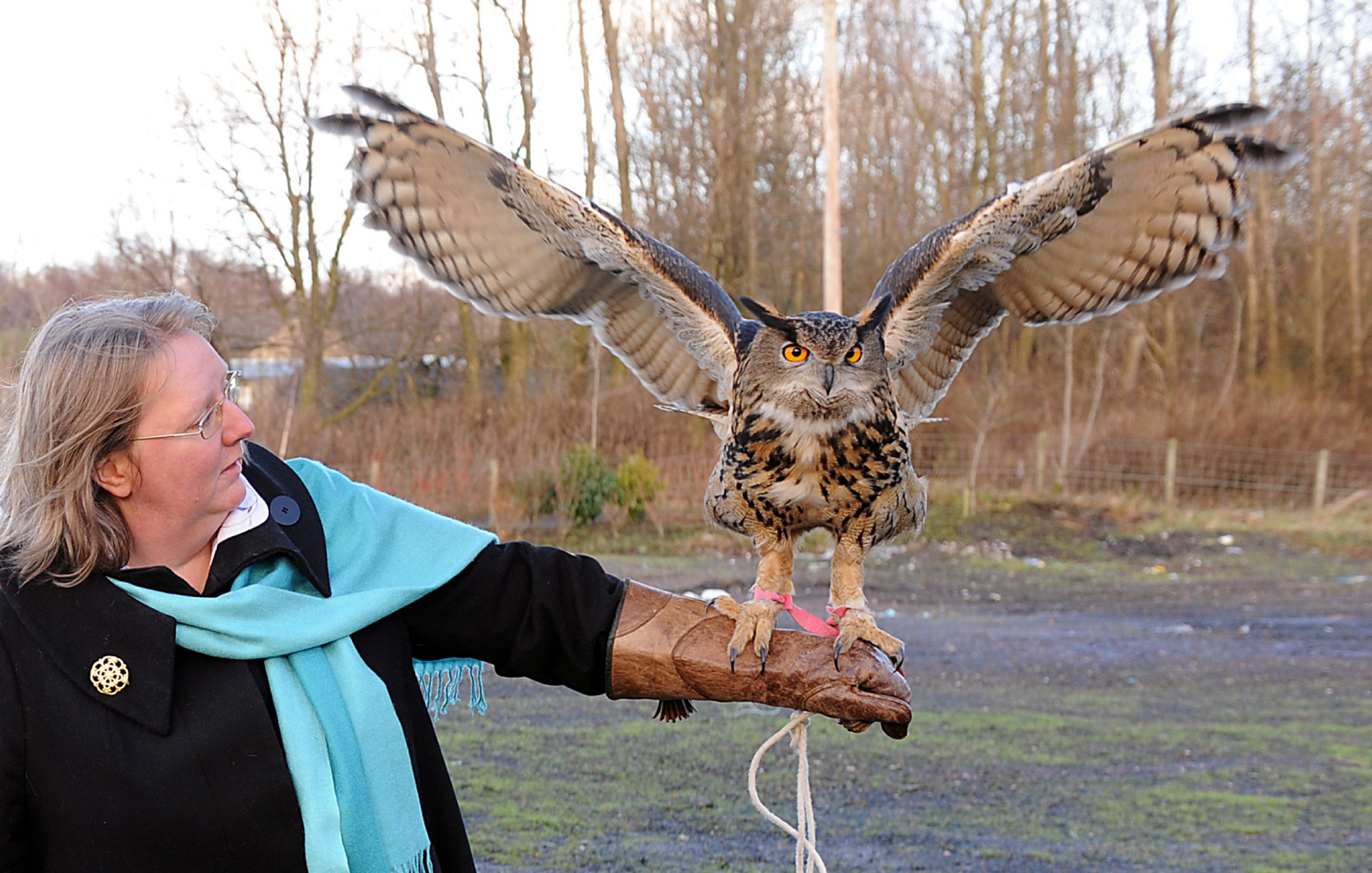 Ollie the Eagle Owl spreads his wings- Eagle couriers