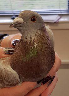 Scottish PR covers Lanarkshire Racing Pigeon's Quick Dash to Cupar