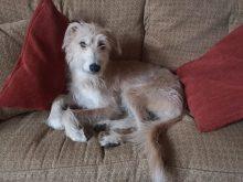Photograph of Edinburgh PR agency office dog, Fergus