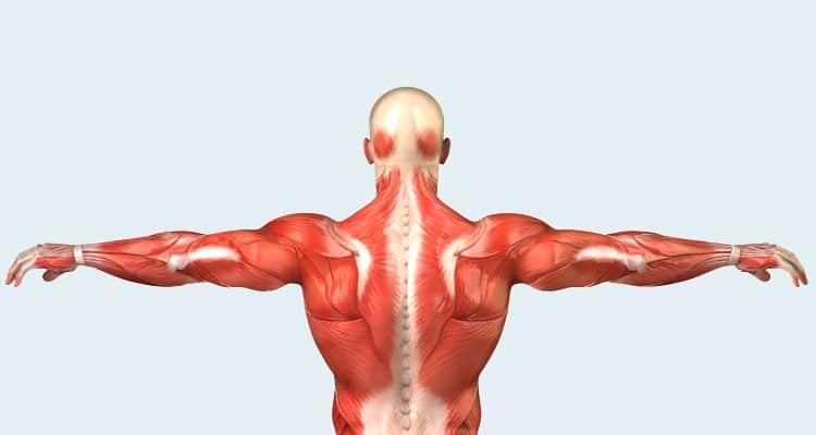 Las fibras musculares