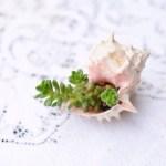 多肉植物の飾り方 〜貝殻〜