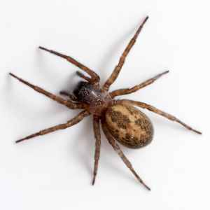 Lace_Webbed_Spider,_Amaurobius_Similis