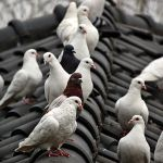 Pigeon Infestation – a number one pest in the UK