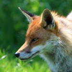 How To Deal With Foxes in Coventry?