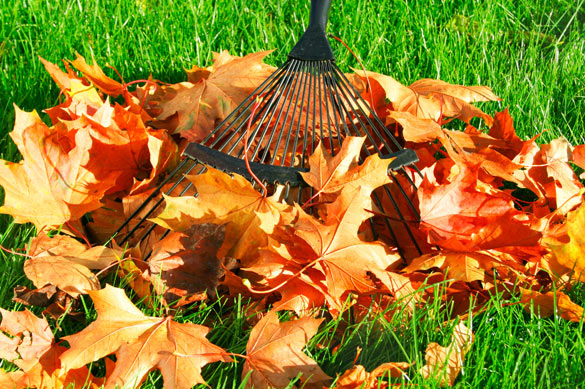 Fall lawn maintenance leaf raking from trees