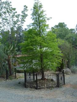 Bald Cypress Image