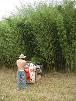 Bissetti Bamboo Image