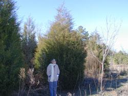 Eastern Red Cedar Image