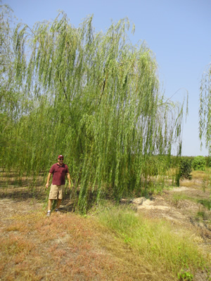 Weeping Willow Image