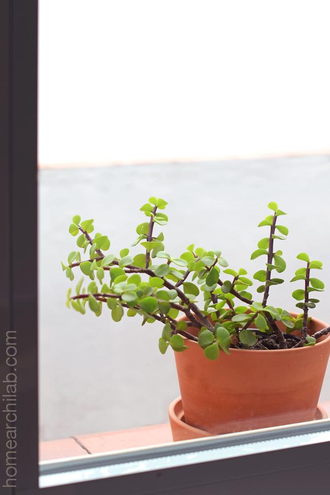 planta árbol de la abundancia