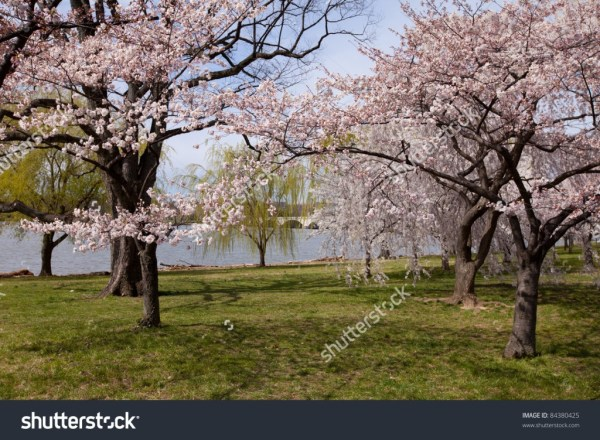Cherry Blossom Trees Washington DC - income report