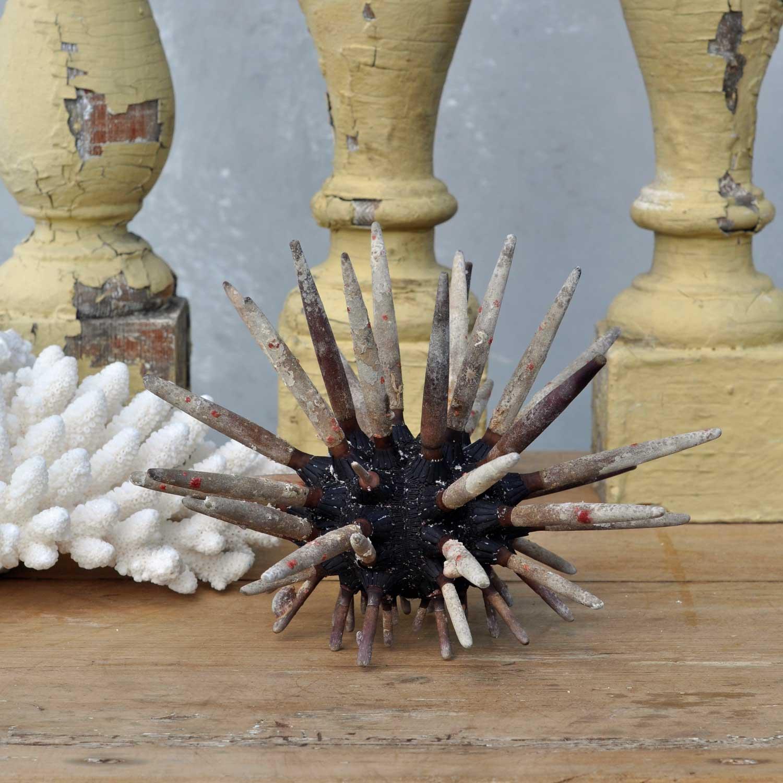 Sea Urchin Specimen For Cabinet Of Curiosities