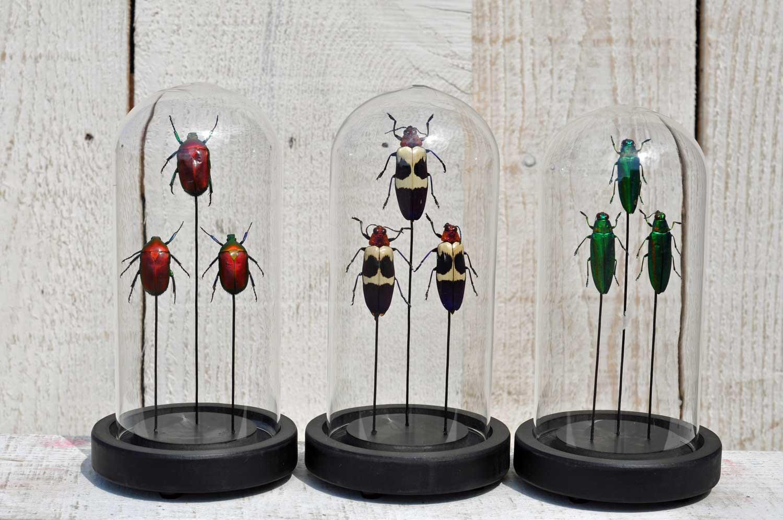 Glass Dome With Beetle Bugs – Entomology
