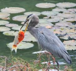 rascally-heron-and-koi-1