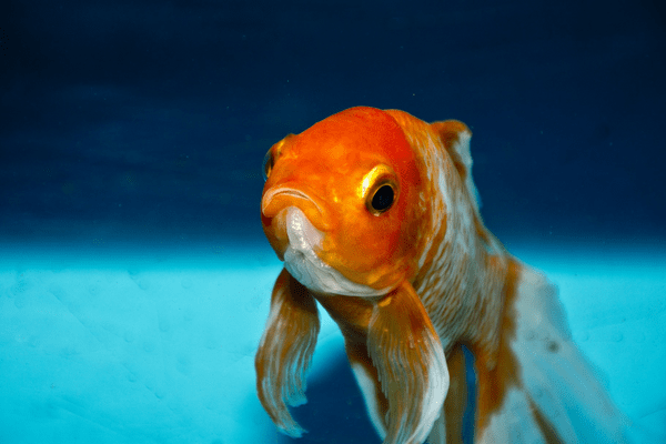 Can you eat goldfish - Is it safe to eat a goldfish large