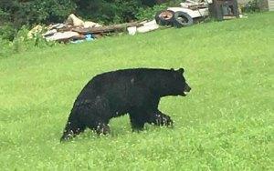 bear walking along 209