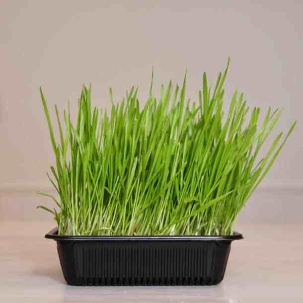 How to Grow Organic Wheatgrass at Home - Tutorial plus Free Printable | Home for the Harvest