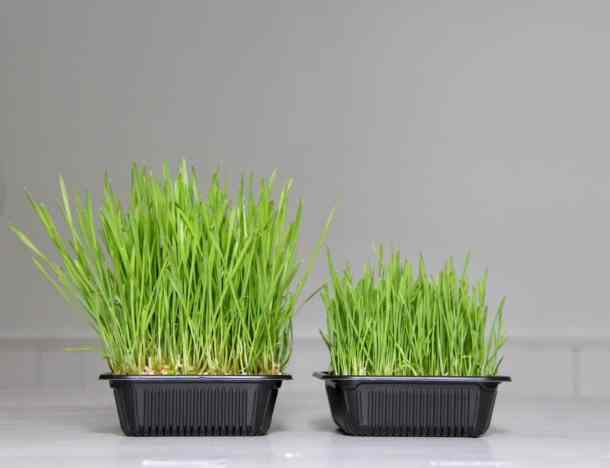 How to Grow Wheatgrass - Tutorial plus Free Printable | Home for the Harvest