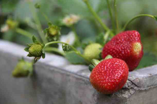 container gardening instructions for how to grow strawberries from seeds
