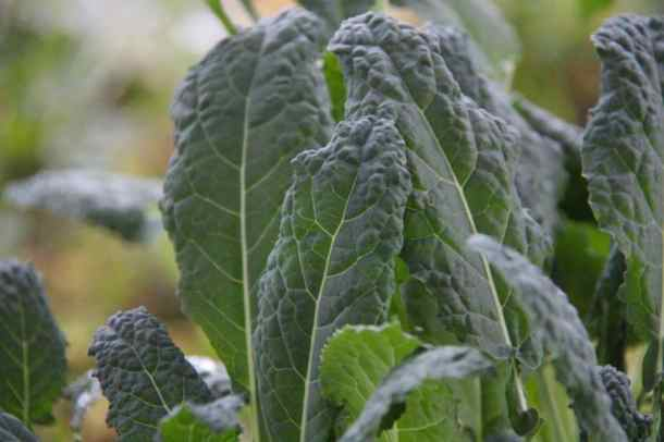 Kale Growing on the Balcony Garden | Home for the Harvest