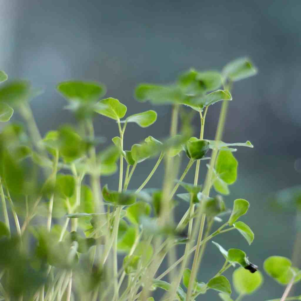 Buckwheat Sprouts & Microgreens: Fresh, Crisp, and Easy to Grow