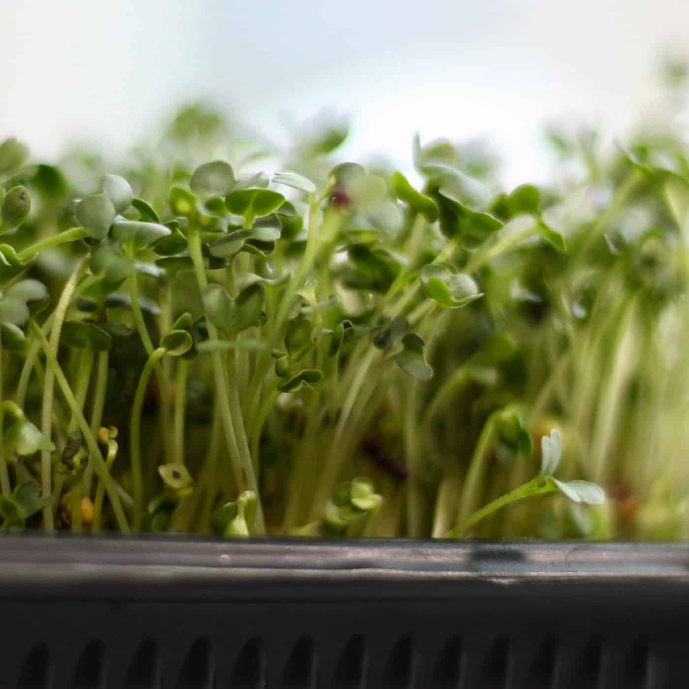 Why growing microgreens is the best way to start gardening for Best growing medium for microgreens