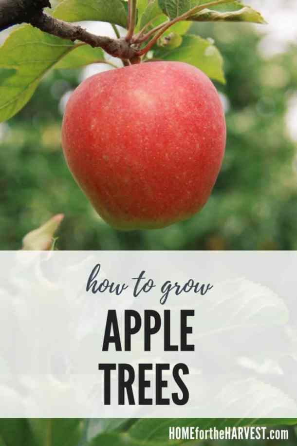 How to Grow Apple Trees | Home for the Harvest