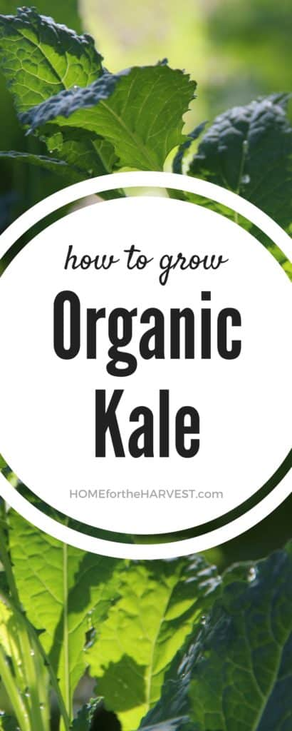 How to Grow Organic Kale   Home for the Harvest