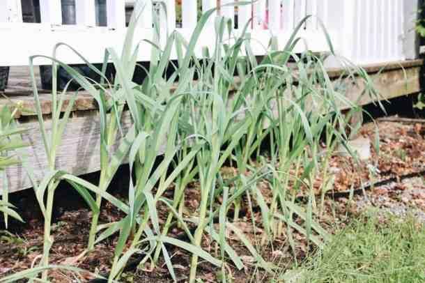 Homegrown Garlic in Urban Yard | Home for the Harvest Gardening Blog