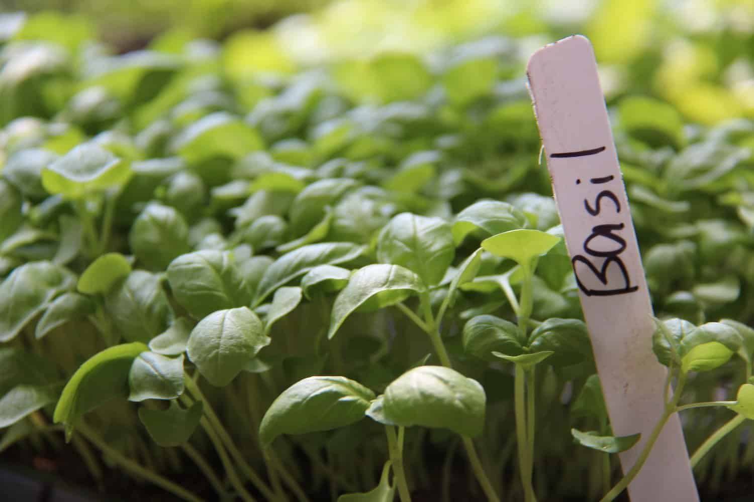 growing basil indoors for an abundant year round harvest