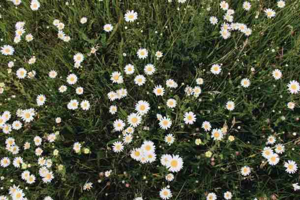 Field of Daisies | Home for the Harvest Gardening Blog