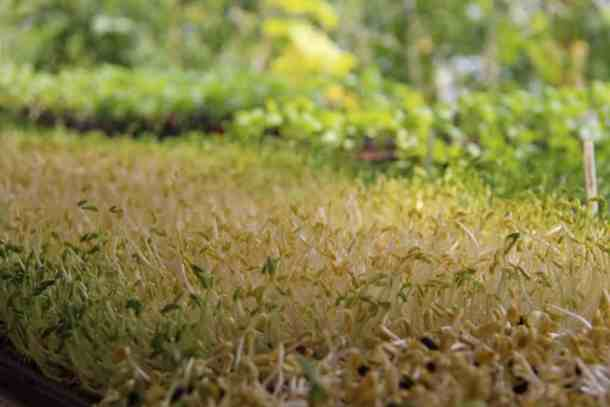 Microgreens after Germination | Home for the Harvest Gardening Blog