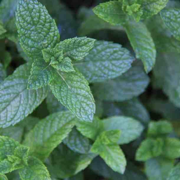 Mint Growing in Herb Garden | Home for the Harvest Gardening Blog