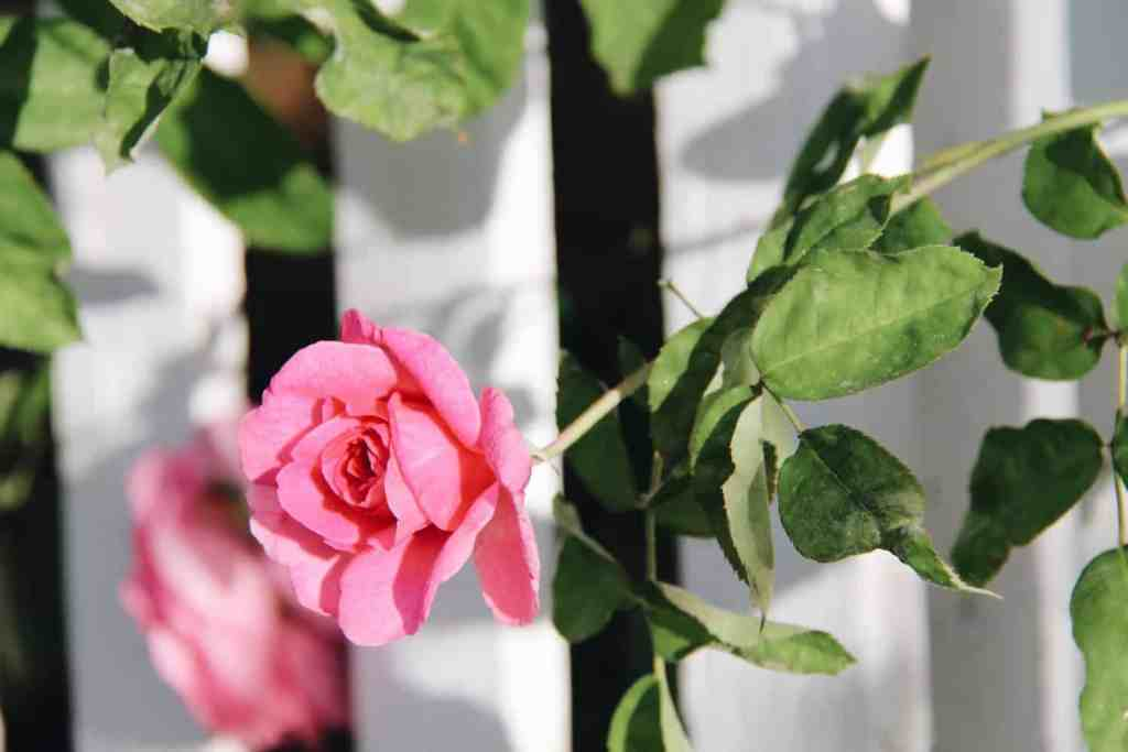 Pink David Austin Rose - Variety Gertrude Jekyll - Pink Climbing Rose | Home for the Harvest | www.homefortheharvest.com