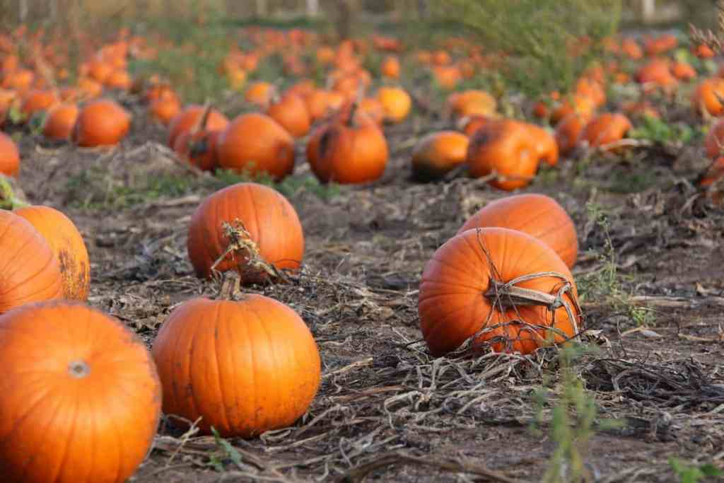 Okanagan Pumpkin Patch Locations
