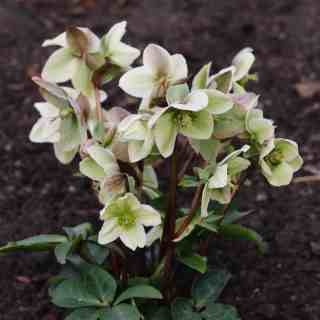 Hellebores in April - Zone 5 | Home for the Harvest