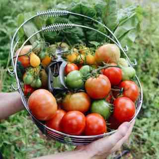 red and green tomatoes in harvest basket with garden shears, outdoor garden in the background