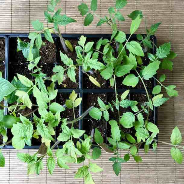 How to Start a Garden - Direct Seeding vs. Indoor Seed Starting   Home for the Harvest