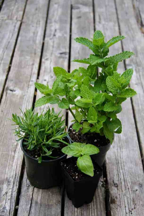 three herb plants (mint, rosemary, basil) on an old wooden patio