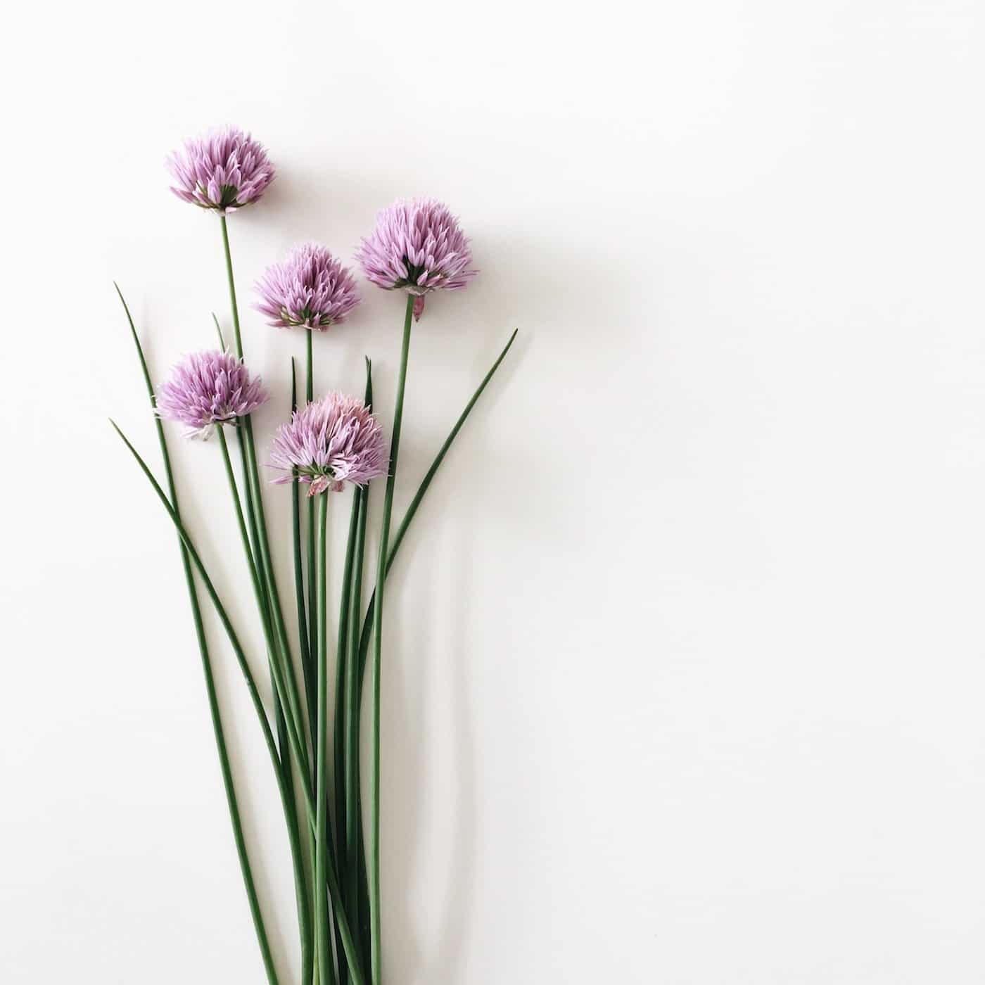 green chives with purple blossoms from an organic garden
