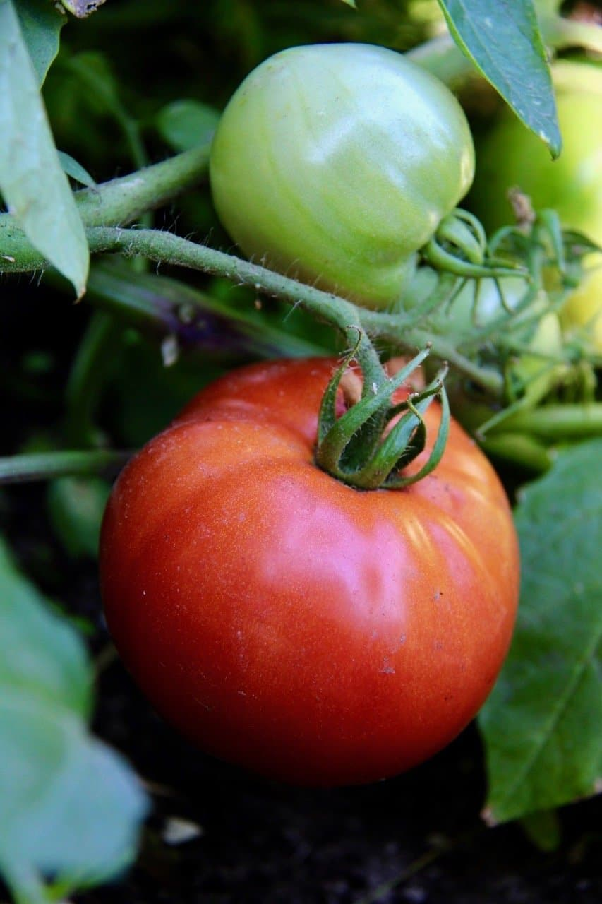 red heirloom tomato growing in home garden surrounded by green tomato leaves