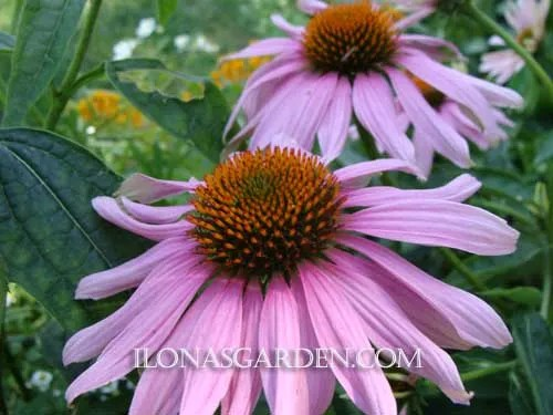 september coneflower